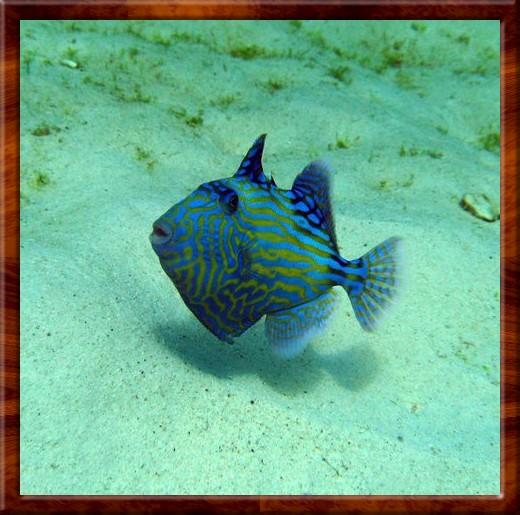 010 TRIGGER FISH