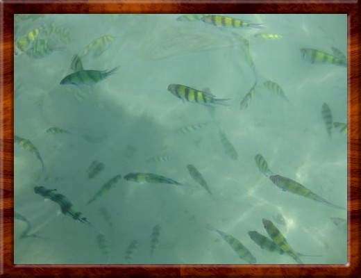 013 FISH SWIMMING UP TO US AT Phi Phi Islands